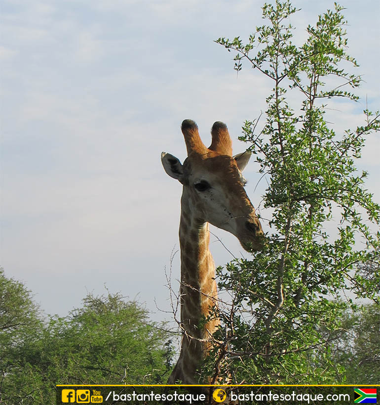 Girafa - Kruger National Park