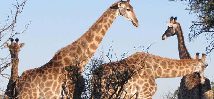 Safári perto de Durban: Como é o Hluhluwe iMfolozi Park
