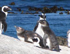 Praia dos pinguins - Cape Town/Cidade do Cabo, África do Sul